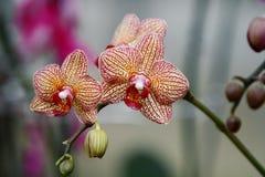 Въетнамская орхидея Стоковые Изображения RF