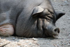 Въетнамская свинья Стоковое Изображение