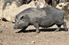 Въетнамская potbellied свинья Стоковые Изображения RF