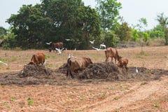 Въетнамские коровы пасут на сельской местности Стоковая Фотография
