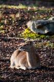 Въетнамские олени sika Стоковые Фото