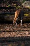 Въетнамские олени sika Стоковое Изображение