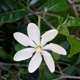 Въетнамский крупный план цветка Gardenia 6 белых лепестков и центра цвета слоновой кости Стоковые Изображения