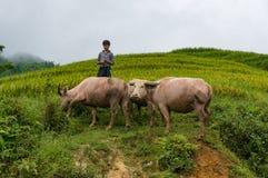 Въетнамский мальчик клоня индийские буйволы outdoors Стоковые Фотографии RF