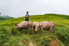 Въетнамский мальчик клоня индийские буйволы outdoors Стоковые Изображения
