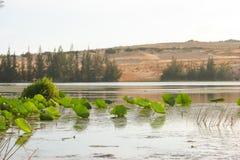 Въетнамский лотос Стоковые Фотографии RF
