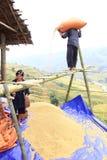 Въетнамский фермер выбирает хороший пади для надувательства стоковые фото