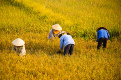 Въетнамский фермер жать рис на поле стоковые изображения rf