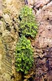 2 въетнамских мшистых лягушки Стоковое фото RF