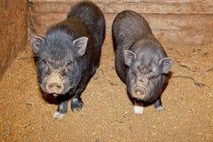 2 въетнамских свиньи Стоковые Фото