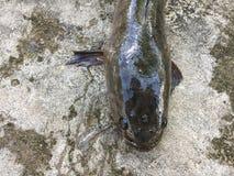 Въетнамское snakehead или striped рыбы snakehead, striata Channa Стоковые Изображения