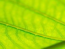 Выберите фокус зеленого макроса текстуры лист и bleary текстуры листьев Полезно как предпосылка стоковые изображения rf