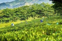 Выбирать зеленый чай в Индонезии Стоковое фото RF