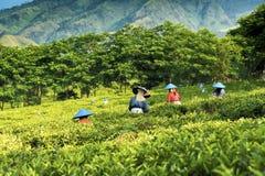 Выбирать зеленый чай в Индонезии Стоковые Изображения