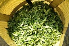 Выбирать молодые листья чая Стоковое фото RF