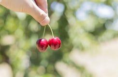 Выбирать свежую красную вишню Стоковые Фото