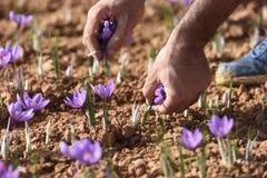 Выбирать шафран в поле Стоковое Изображение