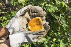 Выбирать шиповатую грушу в саде Стоковая Фотография RF