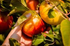 Выбирать яблоко от дерева в саде Стоковое фото RF