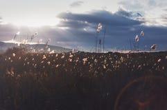 Выборочный мягкий фокус тростников стоковое фото