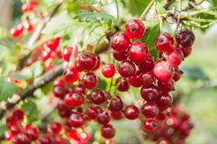 Выборочный фокус зрелых ягод красной смородины на ветви на солнечный день в саде стоковое изображение