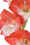 выбор примечания gladiolus цветка не Стоковое фото RF