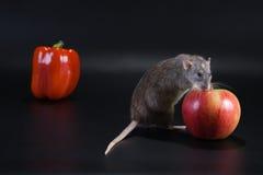 выбранная крыса яблока стоковая фотография rf