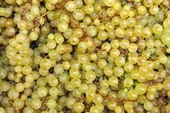 Выбранные виноградины вина стоковая фотография rf