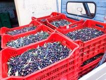 Выбранные оливки и подготавливают для молоть Стоковые Изображения RF