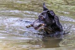 Выбытая собака фермы наслаждаясь восстанавливать pinecone стоковые изображения