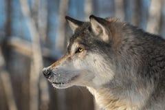 Выведенный профиль зимы волчанки волка серого волка Стоковые Фотографии RF