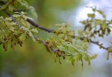 Вывесите ветвь дуба с новыми листьями и catkins Стоковое Фото