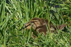Выводок утенка утки кряквы Стоковое Фото