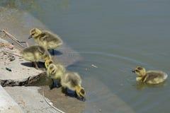 Выводок newborn гусят гусыни Канады Стоковое Изображение