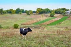 Выгоны коровы на поле фермы Стоковое Фото