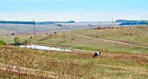 Выгоны коровы на поле фермы Стоковое фото RF