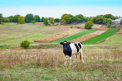 Выгоны коровы на поле фермы Стоковые Изображения