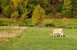 Выгоны коровы на поле фермы Стоковые Фотографии RF