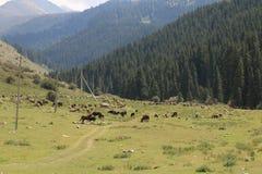 Выгон 3 горы Кыргызстана стоковое изображение