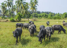 Выгон животного быков Стоковое Изображение RF