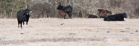 Выгон зимы знамени сети с коровами Ангуса Стоковая Фотография RF