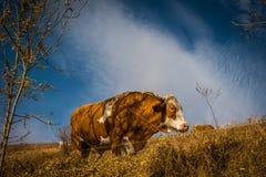 Выгон коровы в горах на осени Стоковое фото RF