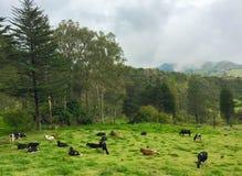 Выгон коровы в горах эквадора Стоковое фото RF