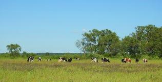 Выгон коровы в поле, Литве Стоковые Фото