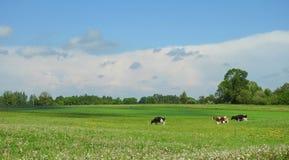 Выгон коровы в поле, Литве Стоковое Фото