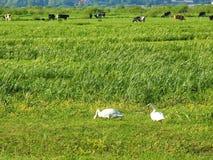 Выгон коровы в поле, Литве Стоковое Изображение