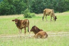 Выгон коровы Стоковое Изображение