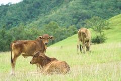 Выгон коровы Стоковая Фотография