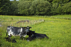 выгон коров стоковое изображение rf