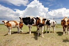 выгон коров стоковая фотография rf
